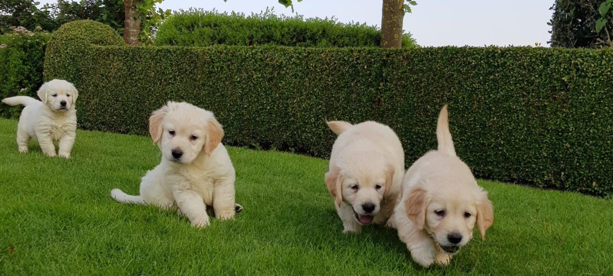 Adogs: Golden retriever pups