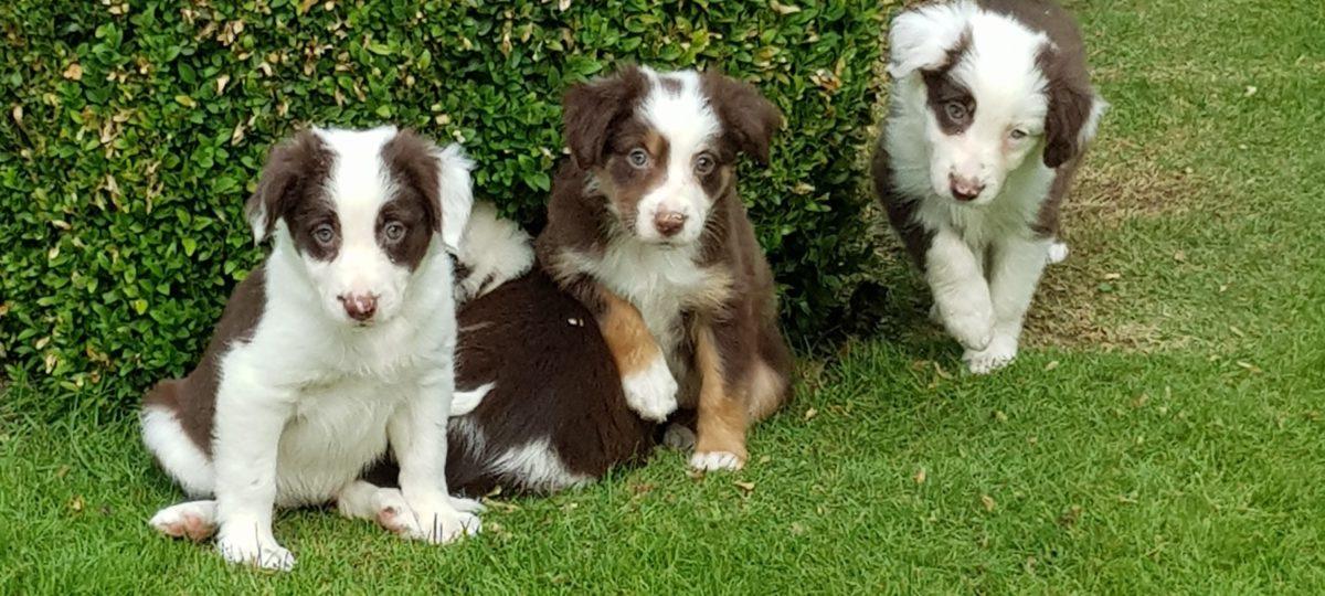 Adogs: Border collie pups